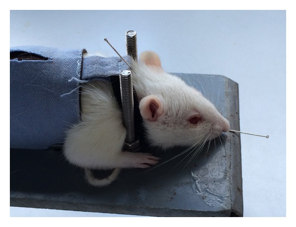 Rats-immobilization-apparatus-for-acupuncture